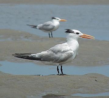 bread crumbs terns flocks Terns