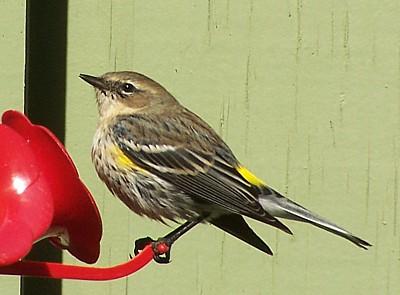 Yellow Rumped Warbler B on North Carolina Cardinal Bird