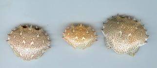 Lady Crab Shells