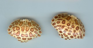 Calico Crab Shells