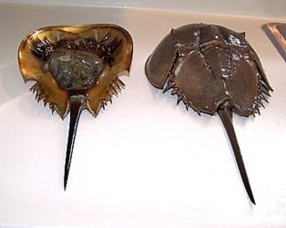 Horseshoe Crab Molts