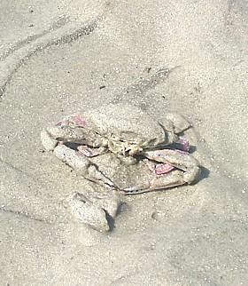 Iridescent Swimming Crab