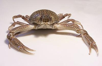 Purse Crab
