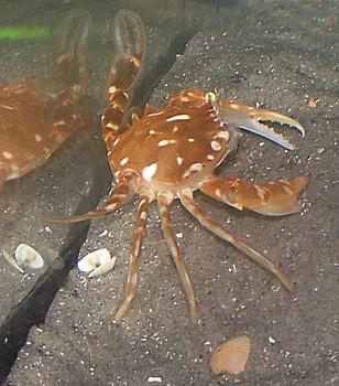 Sargassum Crab