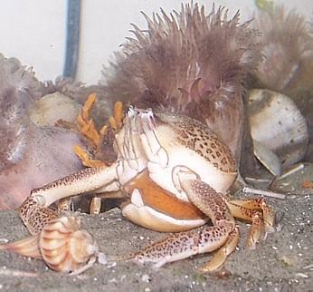 Sponge Purse Crab