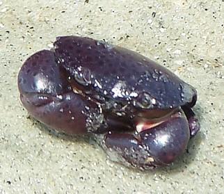 Juvenile Stone Crab