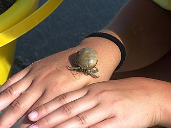 Striped Hermit Crab
