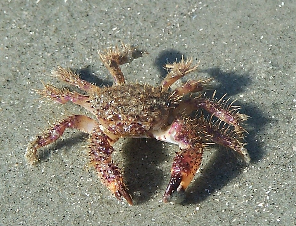 Xanthid crab about 1 1...